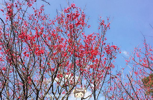 【土城/太極嶺】賞櫻 聽說櫻花開滿了…