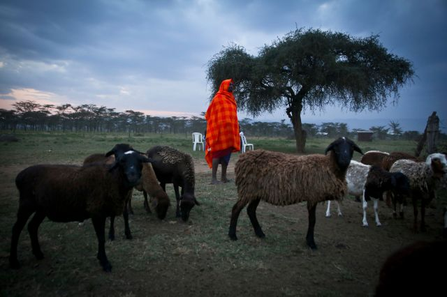 "<span class='image-component__caption' itemprop=""caption"">Nkika Mututua brings in his herd at sunset, near Suswa, Kenya.</span>"