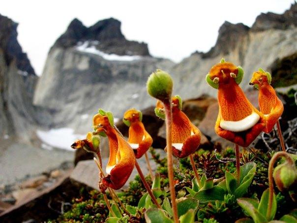 Calceolaria uniflora