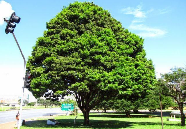 9 curiosidades sobre o pau-brasil, a árvore que dá nome ao nosso país 9 curiosidades sobre o pau-brasil, a árvore que dá nome ao nosso país 03162019727030