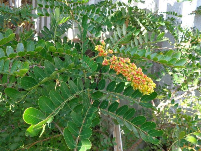 9 curiosidades sobre o pau-brasil, a árvore que dá nome ao nosso país 9 curiosidades sobre o pau-brasil, a árvore que dá nome ao nosso país 03162414307040