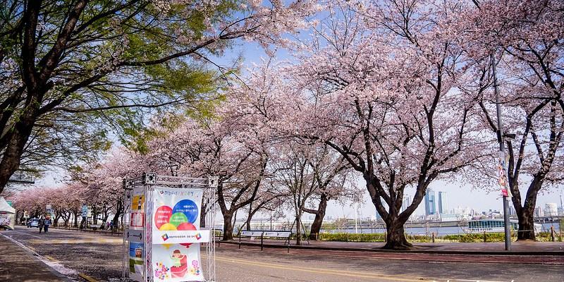 [Seoul。櫻花] 汝矣島 (2015/04/13)