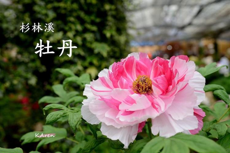 [南投] 2014 杉林溪賞牡丹、紫藤花 (4/4)