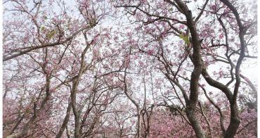 【台南中西區-風景】台南公園開滿了粉紅色的花 # 羊蹄甲 #