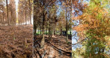 【台南六甲景點】 冬季期間限定|台南林鳳營|落羽松轉紅了~六甲菁埔埤落羽松森林