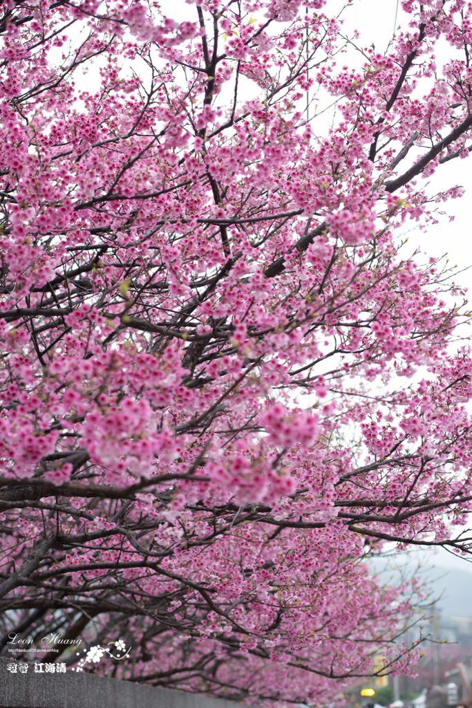 陽明山賞櫻推薦》平菁佳櫻 – 美爆的櫻花