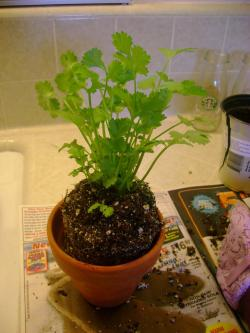 Small Of Growing Cilantro Indoors