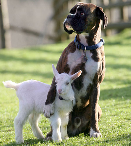 Dog and goat