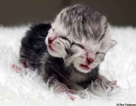 Two-headed kitten