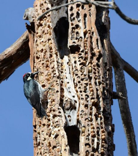 Acorn Woodpecker, California.