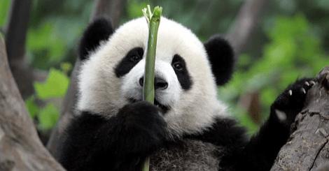 想要看熊猫不用到动物园排队?