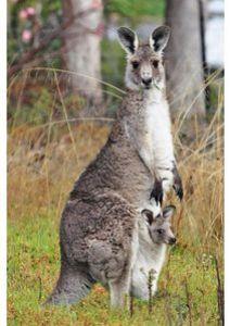 kangourou-avec-son-jeune-p7279.jpg