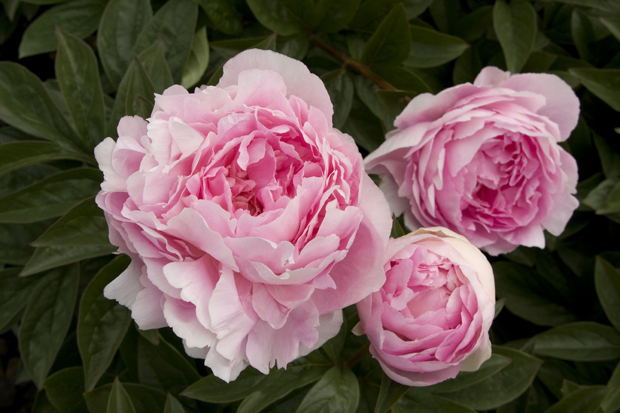 Howling How To Grow Peonies Sunset Magazine When To Transplant Peonies Ohio When To Transplant Peonies Nz houzz 01 When To Transplant Peonies