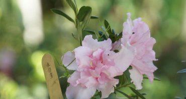 過年除了插花之外,買棵漂亮的臯月當擺飾也是不錯的選擇!
