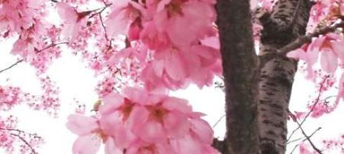 [妝容] [徵文] 百年下的春花浪漫-妖櫻烙印