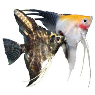 Semi Aggressive Freshwater Fish Tropical Fish With Flair