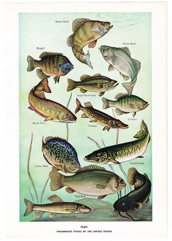 Freshwater fish united states freshwater fish of united for Illinois fish species