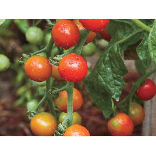Medium Crop Of Arkansas Traveler Tomato