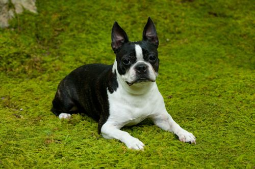 Picture Female Sourn Dog Names French Bulldog On Moss Lawn 54f9db73695986a16503 8305 Sourn Dog Names