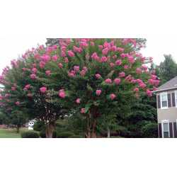 Small Crop Of Dynamite Crape Myrtle