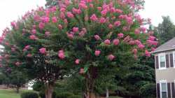 Small Of Dynamite Crape Myrtle