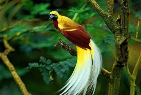 burung cenderawasih, burung paling cantik, burung kayangan, burung kayangan cenderawasih,