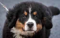 Small Of Bernese Mountain Dog Lifespan