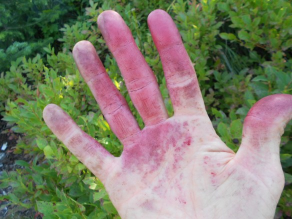 You can't pick huckleberries without getting purple hands. In my case, I usually have purple lips, cheeks and chin too.