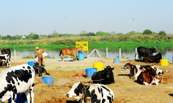 A dairy on the Yamuna floodplain, on land declared to belong to the Delhi Development Authority, near Sonia Vihar