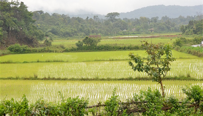 Rice paddies in Kodagu. (Photo by S Gopikrishna Warrier)