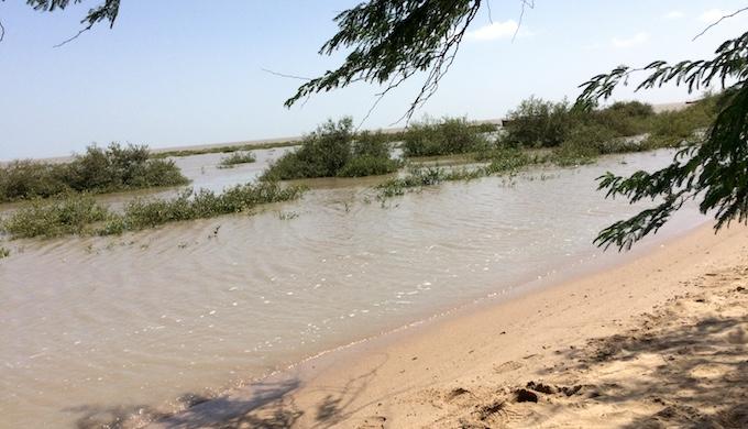 New mangrove plantations near Mundra in Gujarat. (Photo by MM Paniyil)