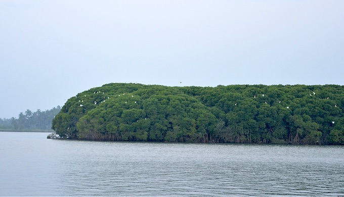 Birds return to roost on mangroves in an island off Kerala's coast. (Photo by S. Gopikrishna Warrier)