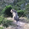 Climate change jeopardises survival of snow leopards