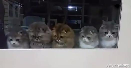 跟一群貓咪玩逗貓棒,怎麼有一隻貓咪不專心呀,還在那發獃
