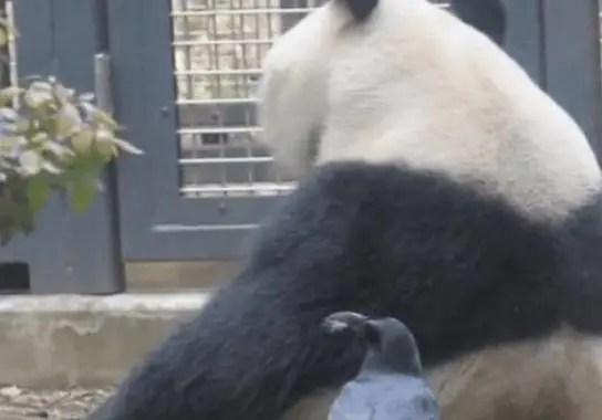 熊貓滾滾遭烏鴉調戲,被烏鴉啄了一嘴的毛還自顧自的吃竹子,真是個吃貨