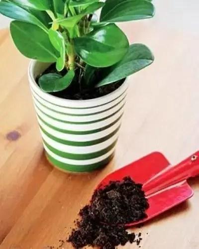 北方養不好梔子花、茶花,通常都是土壤偏鹼,教你輕鬆應付