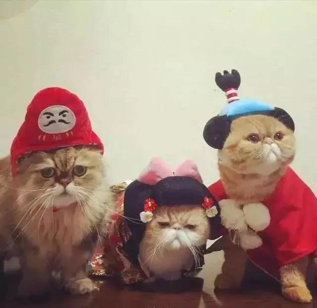 大臉貓大臉貓愛拍照扁臉三兄弟被主人玩壞了