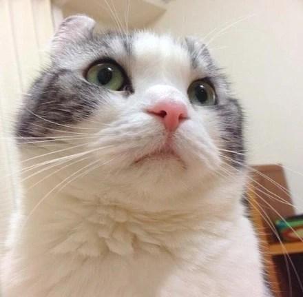 呆萌呆萌的卷耳大臉貓 有喜歡的沒?