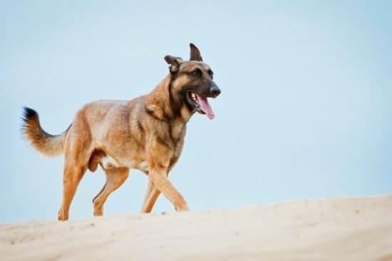 軍犬做的很多,它們收穫的卻是沒有那麼多