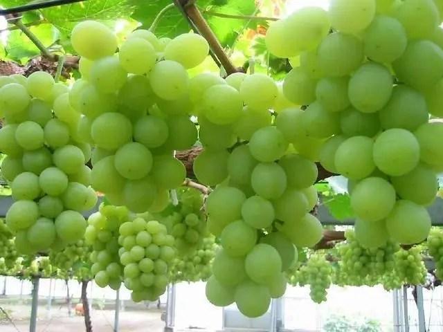 吃了那麼多年的葡萄,竟然不知道它有那麼好的養生效果!