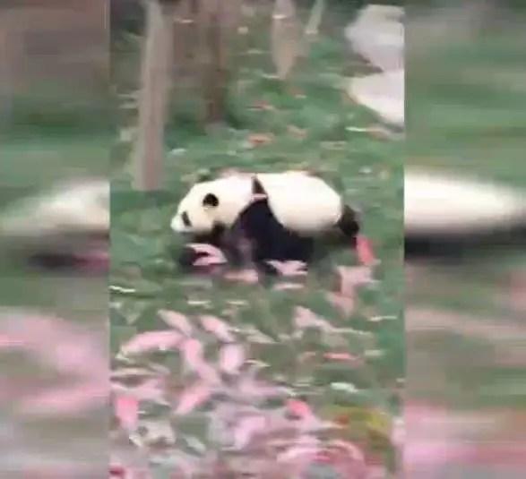 大熊貓爬到樹上,突然發生這一幕太尷尬了,還是先跑最重要!