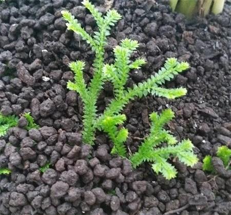 家有一盆翠雲草,如置身於蒼翠的林中,享受一抹春色