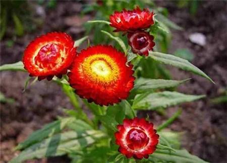 蔦蘿,麥稈菊的四季養護方法