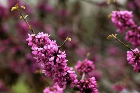 紫荊盆景的養護方法