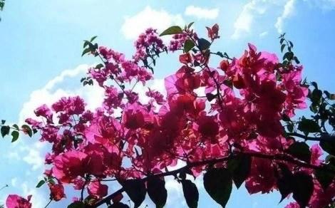 這幾種優秀的藤本植物,每一個都能養成一面「花牆」