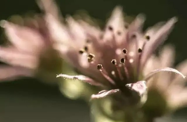 走向生命盡頭的多肉植物長生草,你都不知道最後的它們有多美!