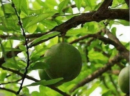 一種奇樹,不管是人類或動物看見了就得跑,不然就要倒大霉了