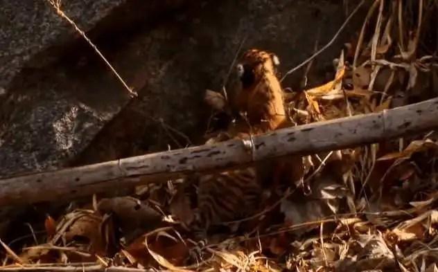 剛出生的小老虎在山中亂爬,叼回一隻又跑一隻,虎媽內心好崩潰