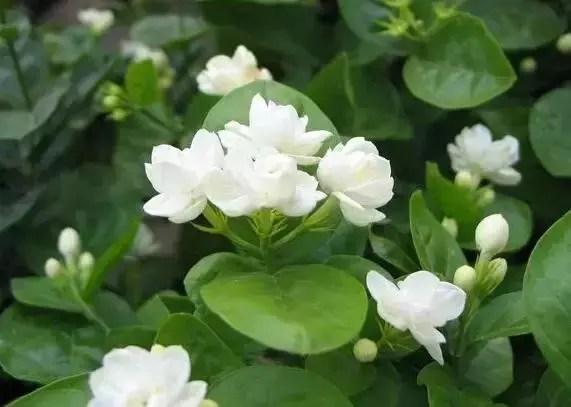 養花之家,怎麼養好茉莉花?