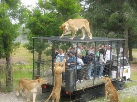 跟獅子近距離接觸,這樣的觀光車,你敢坐嗎?